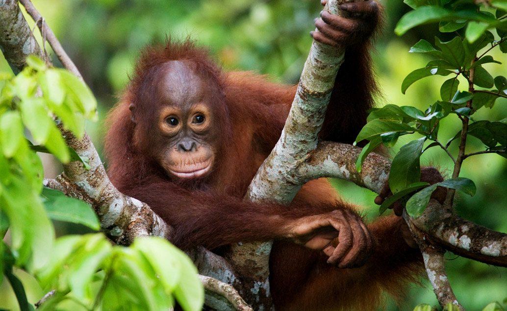 Kráľovia Sumatry, orangutani a jazero Toba