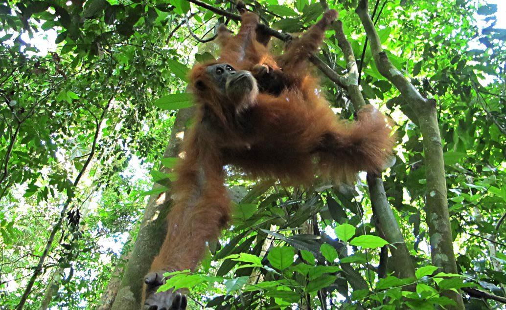 Veľká Indonézska cesta - Bali, Jáva, komodské draky a orangutani na Sumatre